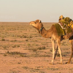 Dromedary charged with carrying the stuff of his boss