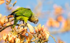 Dusky-headed Parakeet/Weddells aratinga
