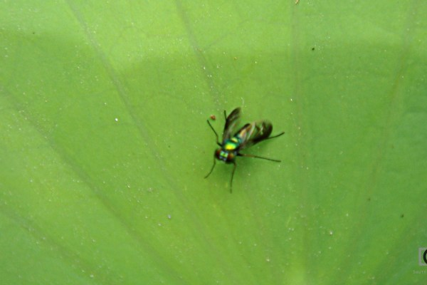 out of focus tiny insect on a lotus leaf -- causes of blurry photos