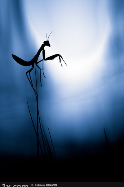 praying mantis at night