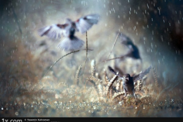 three birds in rain