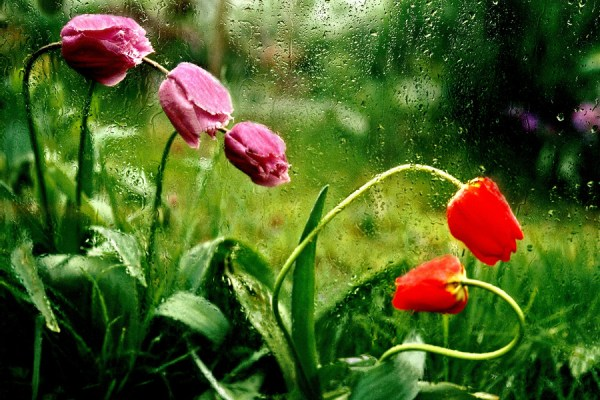 pink and red tulips in rain