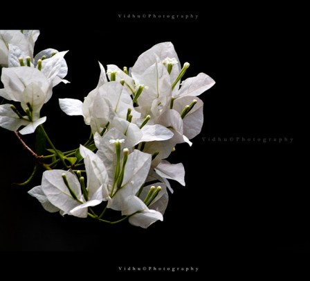 low key image of white flower