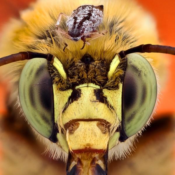 Bug on bee head