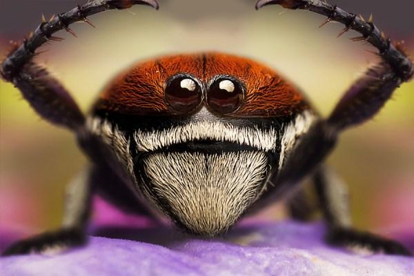 Two eyed spider raising legs