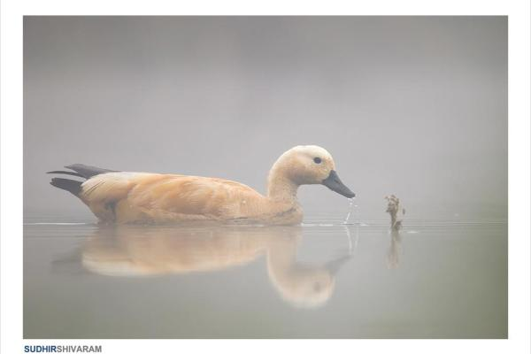 A golden Duck in mist