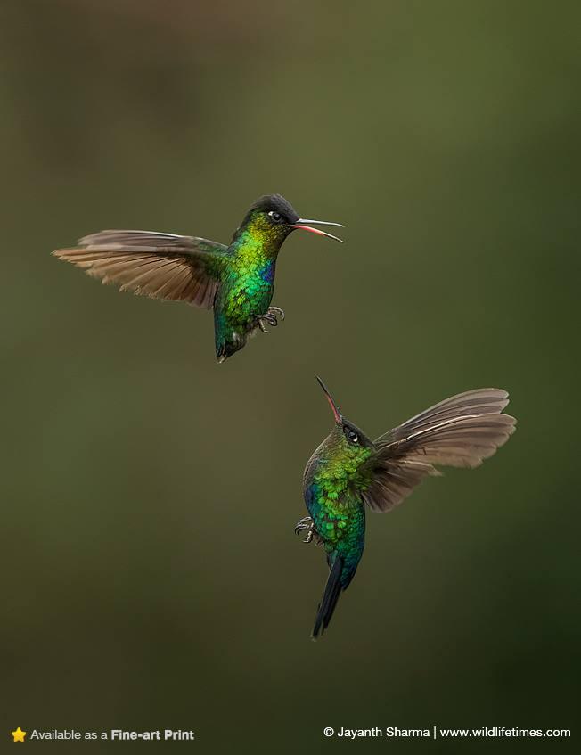 two humming birds in flight