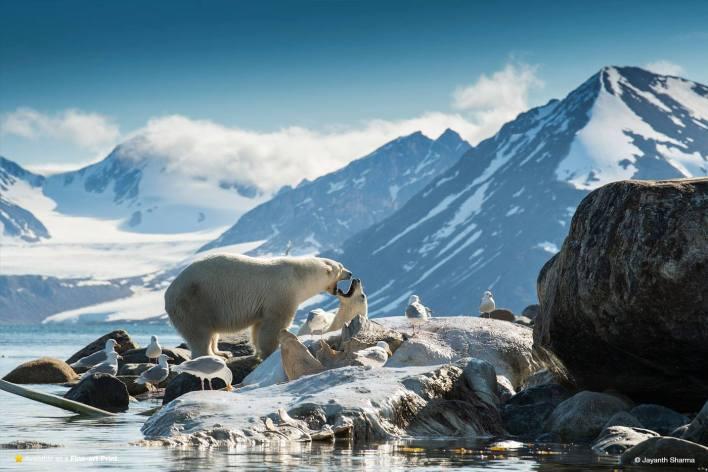 polar bears in antartica