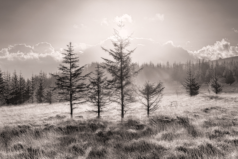 Brecon Beacons pines and sun