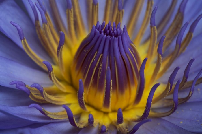 Purple beauty – Water Lily