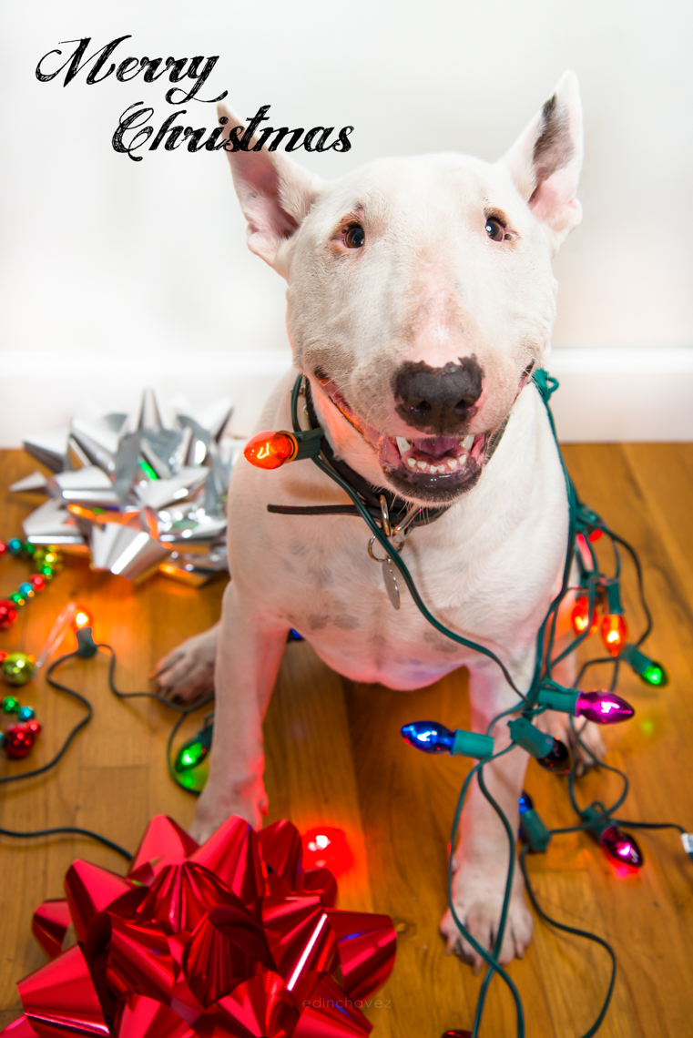 Bull Terrier with Christmas lights