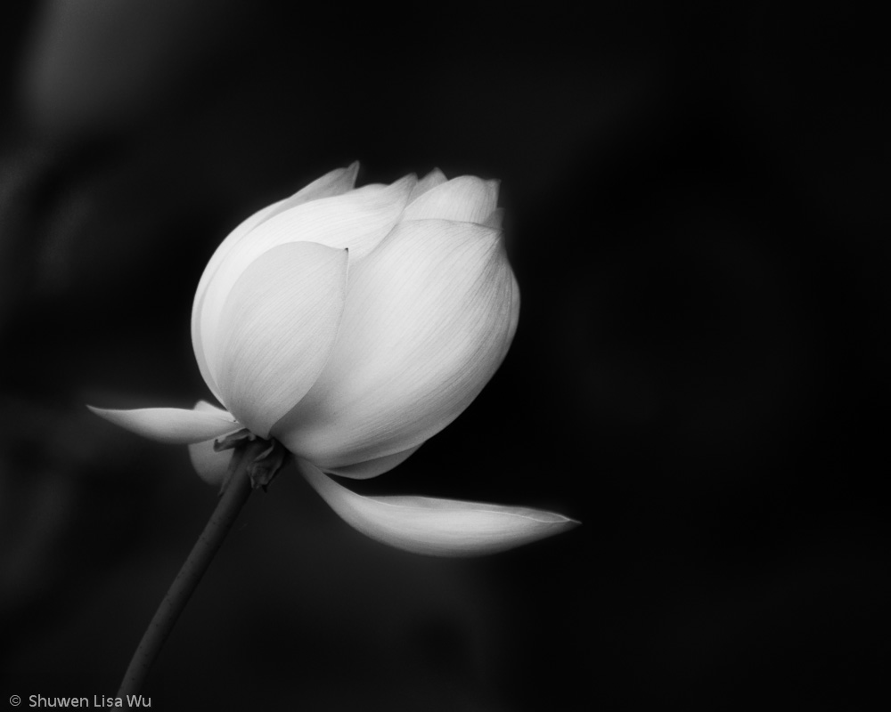 Black & white photo of a lotus flower at Balboa Park, San Diego, CA.