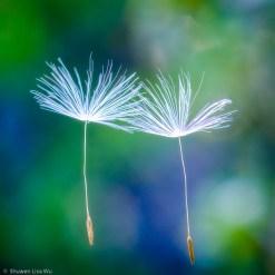 Floating Dandelion Seeds