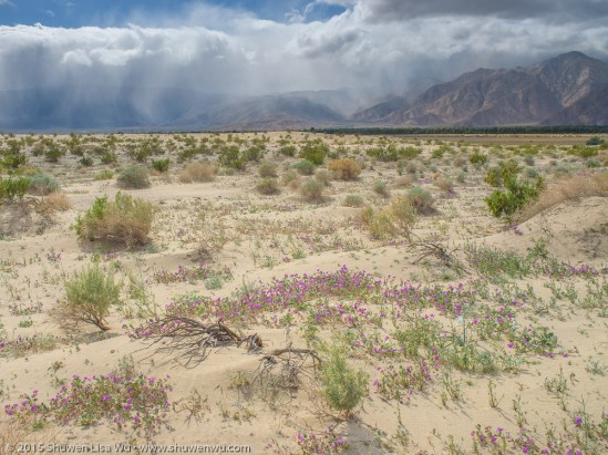 Sand Verbenas and sheets of rain in the distance