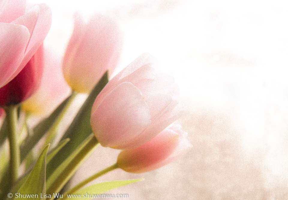 Backlit Tulips 1