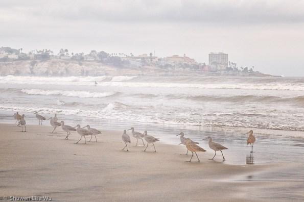 Marching Birds at La Jolla Shores