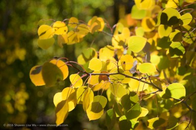 Fall-colored aspen leaves along South Lake Road, Bishop, California, September 2016.