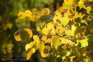 Fall-colored aspen leaves along South Lake Road, Bishop, California, September 2016.