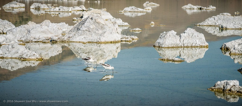 Wading birds in calm water at Mono Lake Tufa State Natural Reserve, Lee Vining, California, September 2016.