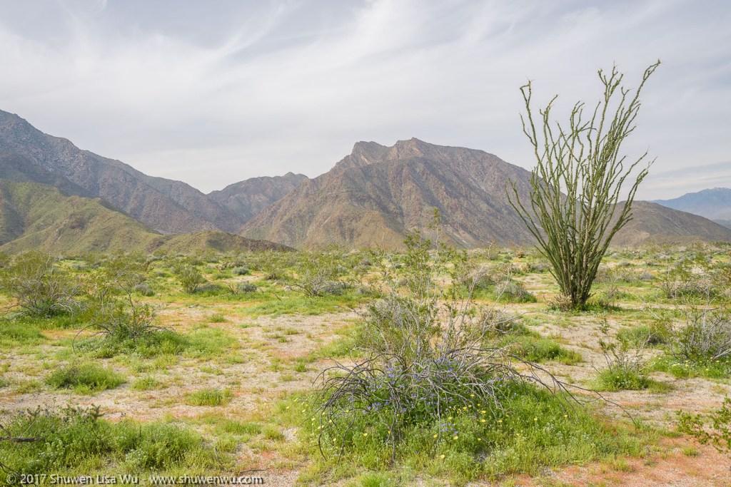 Desert Wildflowers near the Anza Borrego Visitor Center, Borrego Springs, California. March 2017.