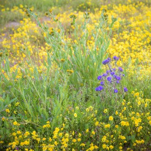 Fiddleneck, Goldfields and Phacelia, Carrizo Plain National Monument, California. March 2017.