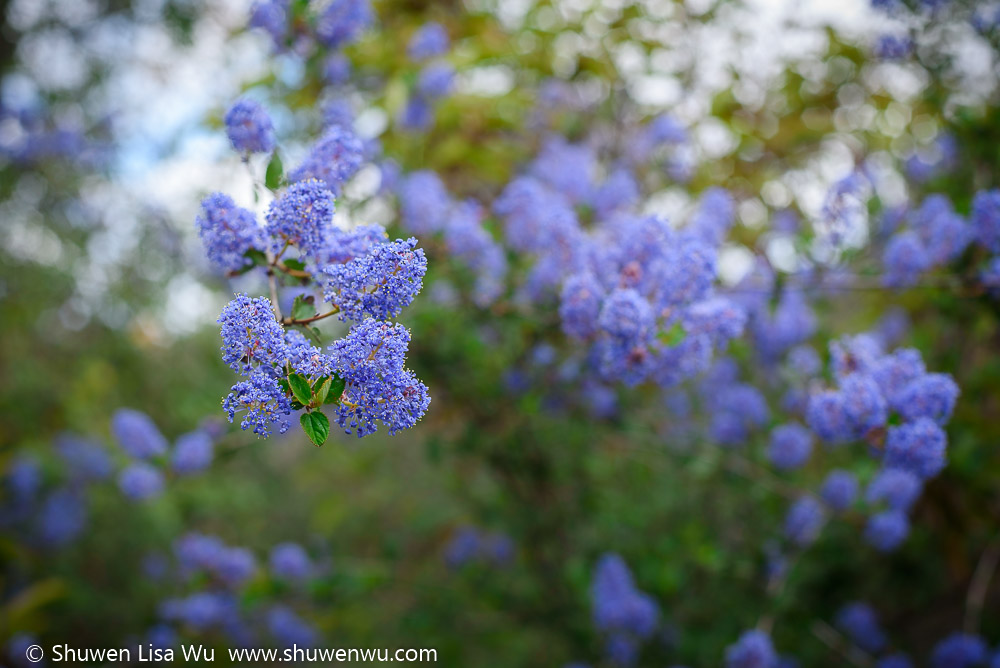 Ceanothus tomentosus flowers at Lake Hodges, Rancho Bernardo, California