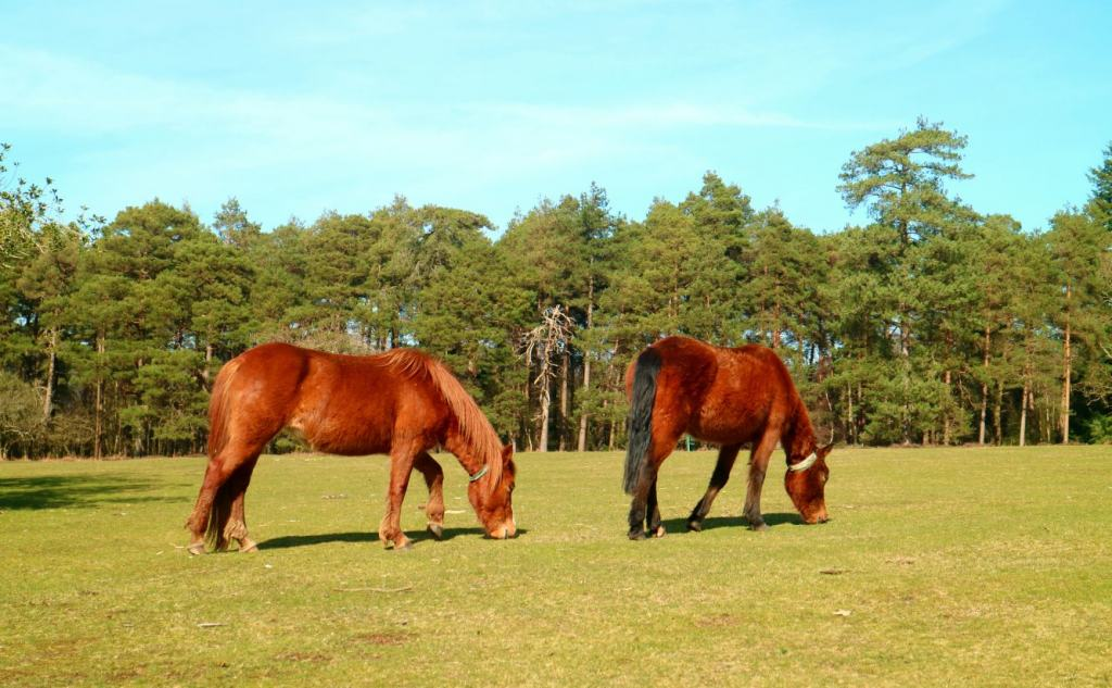 Wild ponys of The New Forest