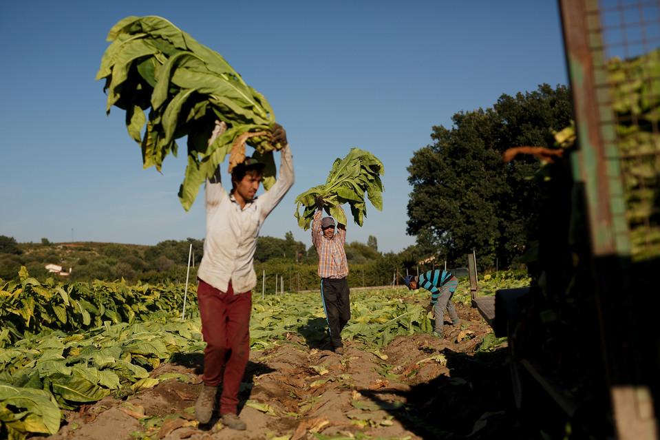 Workers havesting tobacco in August on a farm near Jarandilla de la Vera, in Spain's southern Extreamdura region.