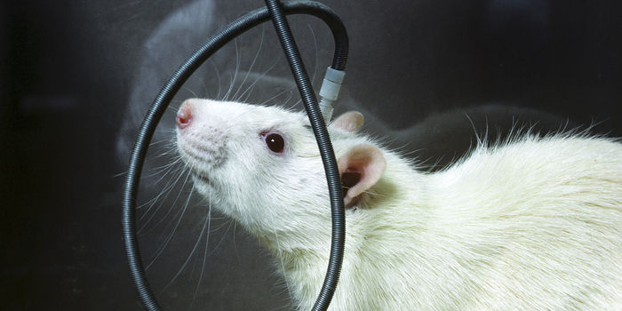 A white rat with an electrode implanted in its brain as part of a study at the National Institutes of Health, 1976.