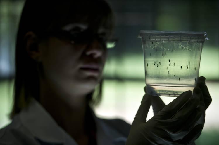Una investigadora observa mosquitos en un contenedor en el Instituto de Ciencias Biomédicas de la Universidad de São Paulo.