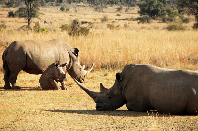 Rhinos rested at the side of the Big Five Marathon course on the route inspection.