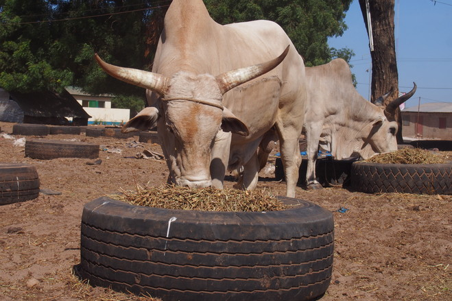 A prize bull in one of the Kanilai branded farms can fetch as much as $1,700 during Ramadan, the Muslim holiday when animal slaughter is traditional.