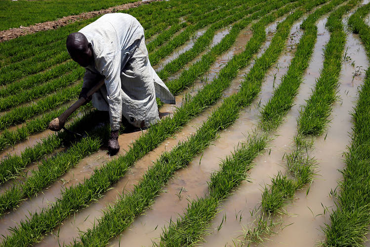 A farmer works with rice sprouts on a farm in Nigeria.