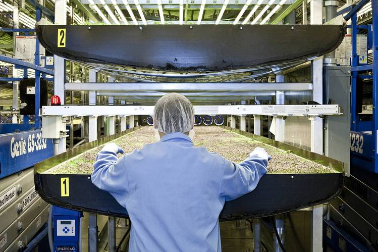 An AeroFarms employee inspects a tray of greens.