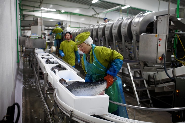A worker processes fresh salmon at the Hidden Fjord factory in Sørvágur.