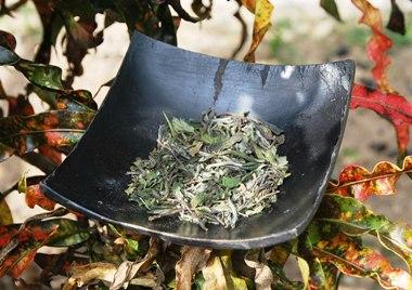 Pai Mu Tan Weisser Tee Garten-Gong-Fu-Cha, Close-Up