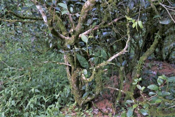 Shui Xian Teebusch im Teegarten der Familie Chen in Zhengyan, Wuyishan