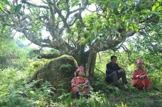 Pai Hao Tra Schwarzer Tee wird vom Bergvolk der Red Dzao gepflückt
