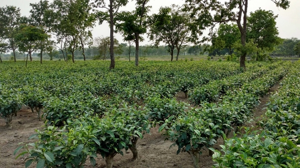 Periodically cut-back tea bushes in the tea garden - Bihar, India