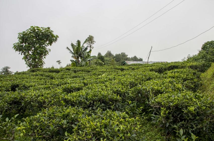 Makaibari Tee Estate, Darjeeling, Nordostindien