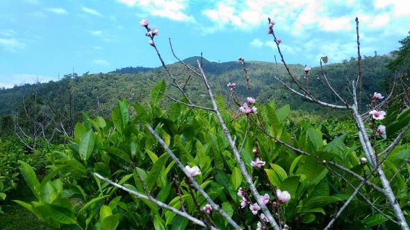 Xiengkhouang Golden Flame - Schwarzer Tee aus Laos: Teegarten