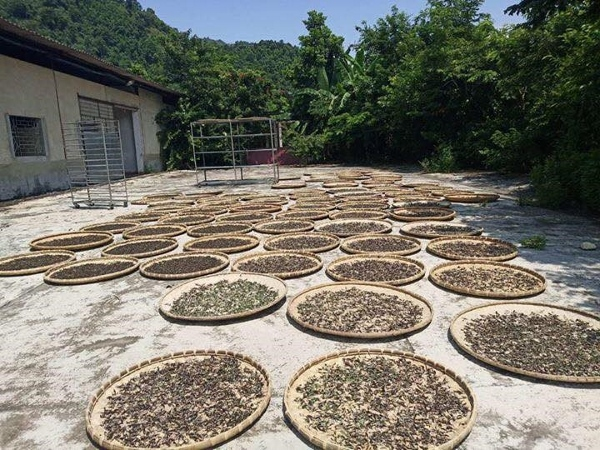 Final drying of tea leaves outdoors in the sun