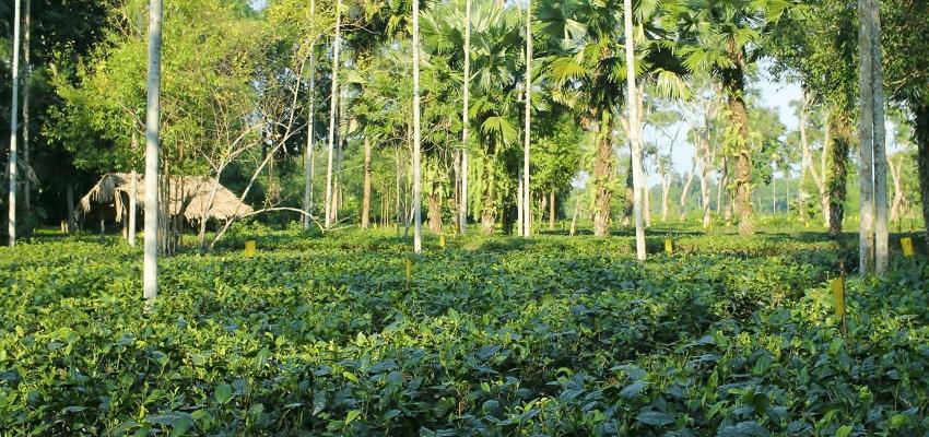 Latumoni Teegarten, Assam, Indien - naturnaher Anbau, Handpflückung und traditionelle Verarbeitung