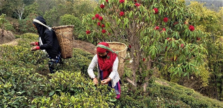 Jun Chiayabari - family-ruan organic tea garden with cose-to-nature tea cultivation in the heart of Nepal