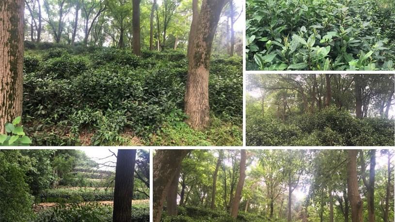 Teegarten auf der Insel Junshan