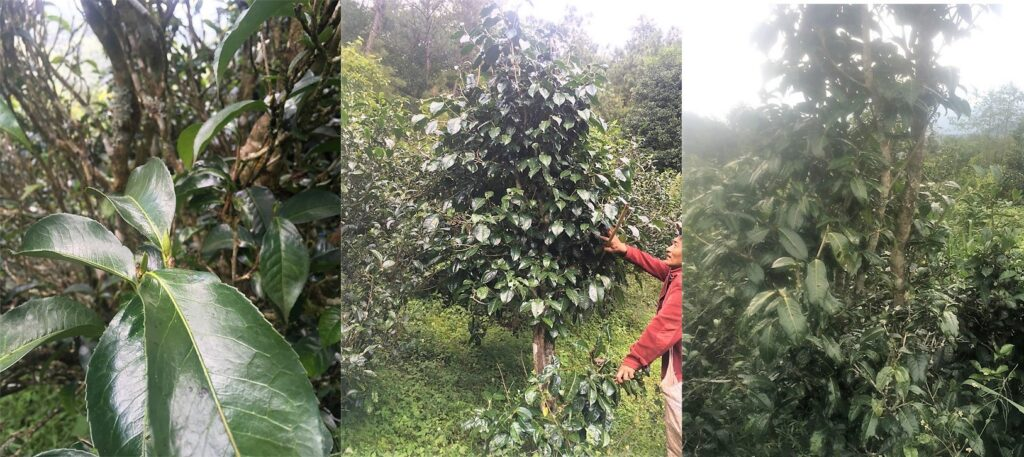 wild tea trees in the forests of Da Xue Shan, Yongde district, Lincang prefecture, Southern China