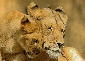Un empoisonnement aurait causé la mort de 11 lions en Ouganda