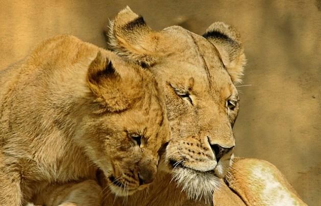 Les responsables de la faune sauvage de l'Ouganda ont déclaré enquêter sur les causes de la mort de 11 lions africains, qu'ils soupçonnent d'avoir été empoisonnés par des éleveurs de bétail.