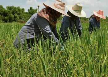 Le prix du riz thaï augmente, les exportations continuent de croître