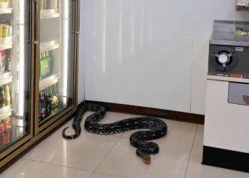 Un serpent s'invite dans un 7-Eleven de Chonburi